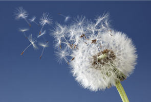Dandelion blowing in wind against blue sky