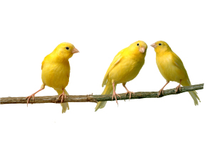 3 yellow canaries perched on a twig
