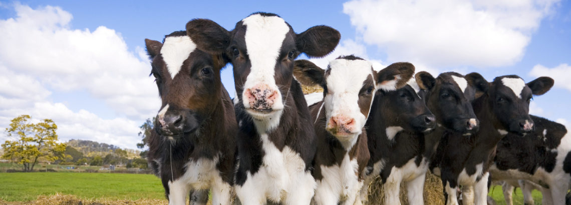 Photograph of group of black and white calves standing in a field